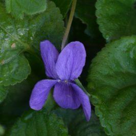 Violettes et Muscaris
